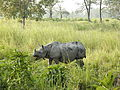 Indian Rhinoceros Rhinoceros unicornis by Dr. Raju Kasambe IMG 0511 (12).JPG