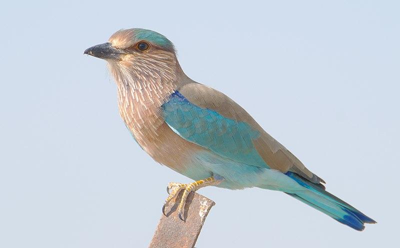 File:Indian Roller (Coracias benghalensis)2.jpg
