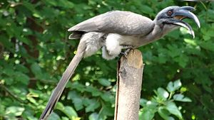 Indian grey hornbill - Image: Indian grey hornbill closeup