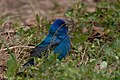 Indigo Bunting (male) Fall Out Sabine Woods TX 2018-04-08 11-54-34 (26613878927).jpg