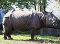 Indisches Panzernashorn Rhinoceros unicornis Tierpark Hellabrunn-2.jpg