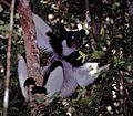 Indri (Indri indri) (7620904288).jpg