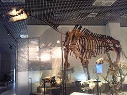 Indricotherium skeleton.jpg