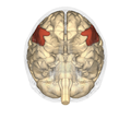 Inferior frontal gyrus - inferior view.png