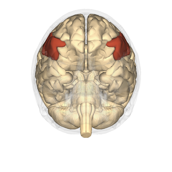 Fileinferior Frontal Gyrus Inferior Viewg Wikimedia Commons