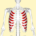 Innermost intercostal muscles frontal2.png