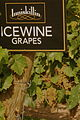 Inniskillin ice wine grapes.jpg