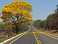Ipê amarelo estrada.jpg