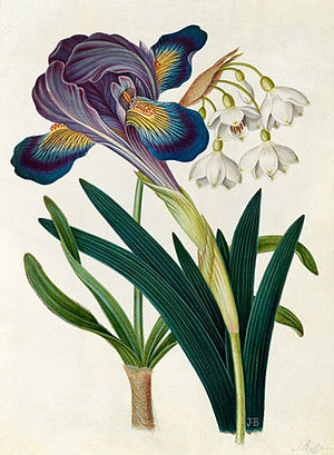 James Bolton - Image: Iris and Summer Snowdrop by James Bolton