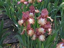 Iris flower0072.jpg