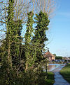 Ivy clad trees near Grove Lake - geograph.org.uk - 1609668.jpg