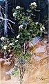 Järnefelt, Valkea pihlaja.jpg