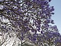 Jacaranda flowers 2.jpg