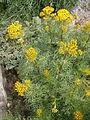 Jacobaea adonidifolia 01.jpg