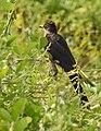 Jacobin cuckoo (Clamator jacobinus).jpg
