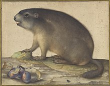A Marmot with a Branch of Plums, 1605 by Jacopo Ligozzi