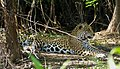 Jaguar (Panthera onca) female resting in the shade ... (other female hidden behind tree on the left) (48705108988).jpg