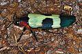 Jewel Beetle (Chrysochroa buqueti) (8741874630).jpg