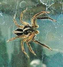 Jumping.spider.japan.-.opencage.jpg
