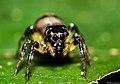 Jumping spider (9592291410).jpg