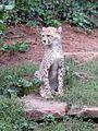 Junger Gepard - panoramio.jpg