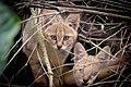 Jungle Cat, juvenile, at Janakpur, Nepal.jpg