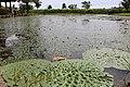 Junicho-Gata lagoon Euryale feroxe habitat 03.jpg