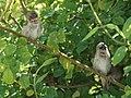 Juvenile Nutmeg Mannikins (26197028145).jpg