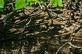 Juvenile saltwater crocodile.jpg