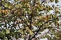 Kanak Champa (Pterospermum acerifolium) in Hyderabad W IMG 7129.jpg