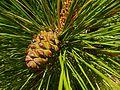 Kanarische Kiefer (Pinus canariensis) 01.jpg