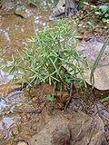 Kerala wild plants pathanamthitta.jpg