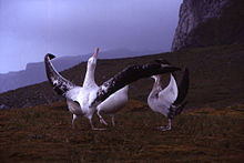 Three massive birds stand on low grasslands, the closest bird has its long wings outstretched and its head pointing upward