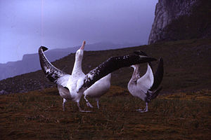 "Seabird breeding behavior - Wandering albatross performing the ""sky calling"" part of its mating dance at its colony on the Kerguelen Islands"