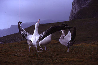 Procellariiformes - Wandering albatrosses performing their mating dances on the Kerguelen Islands