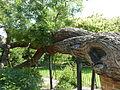 Kew Gardens Pagoda Tree P1170587.JPG