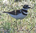 Killdeer59.jpg