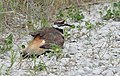 Killdeer distraction (faked injury) (35421807982).jpg