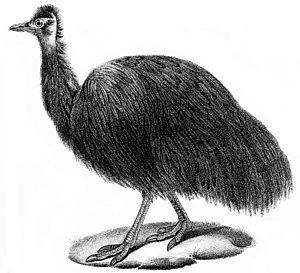 King Island emu - 1834 illustration of the Paris skin by Louis Jean Pierre Vieillot