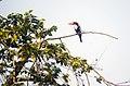 Kingfisher 3 Rabindra Sarobar.jpg