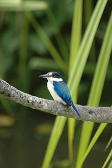 f188e2a5c79 Forest Kingfisher in Kakadu National Park