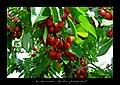 Kiraz (cherry) - panoramio.jpg