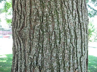 Koelreuteria paniculata - Image: Koelreuteria Paniculata Bark