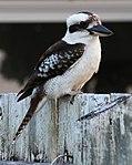 Kookaburra 1 (31132896171).jpg