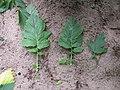Korina 2011-06-20 Brassica nigra 2.jpg