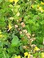 Korina 2012-08-30 Mimulus guttatus 4.jpg