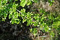 Korina 2017-04-09 Cotoneaster divaricatus.jpg