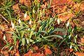 Kvetoucí sněženky v PP Sněženky ve Vysokém lese 14.jpg