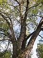 Kysice KL CZ Javory v Kysicich Acer saccharinum 082.jpg