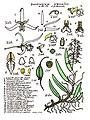 LR032 72dpi Dendrobium wassellii.jpg